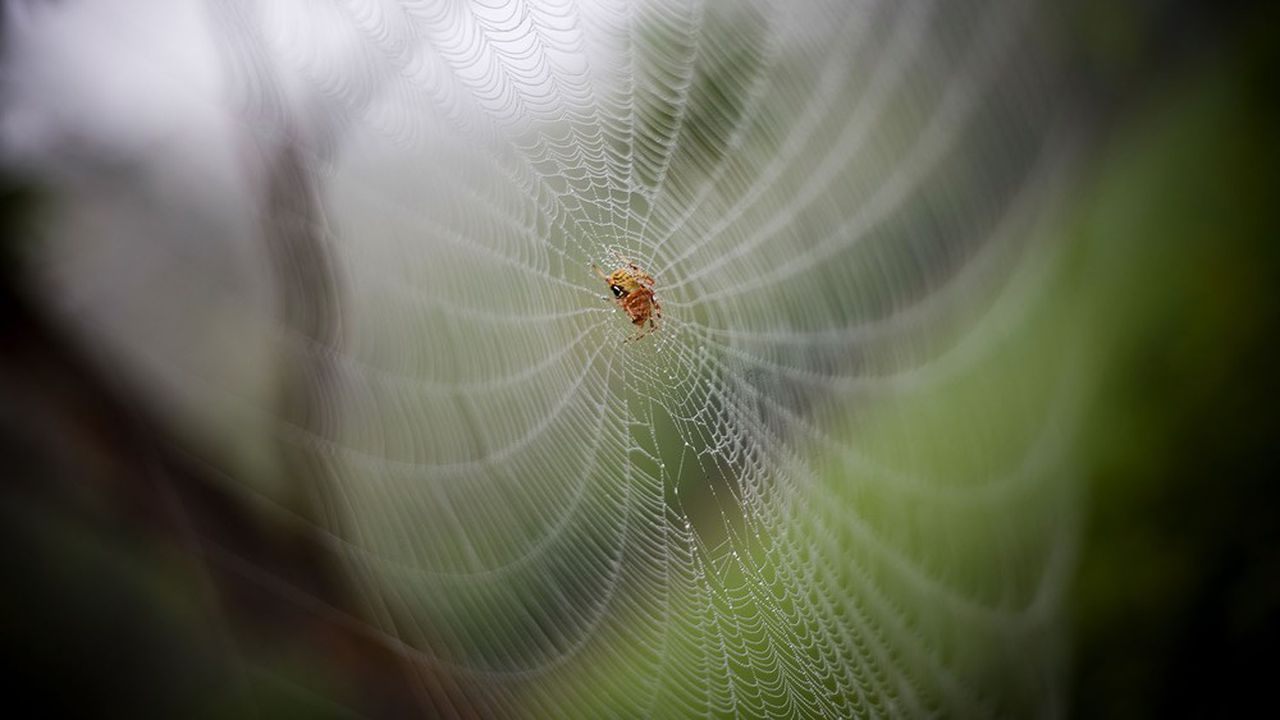 «A la fois extrêmement légère et incroyablement résistante, la toile d'araignée ne cesse d'inspirer l'homme qui après avoir compris comment l'animal la fabrique songe même à en produire de façon artificielle»
