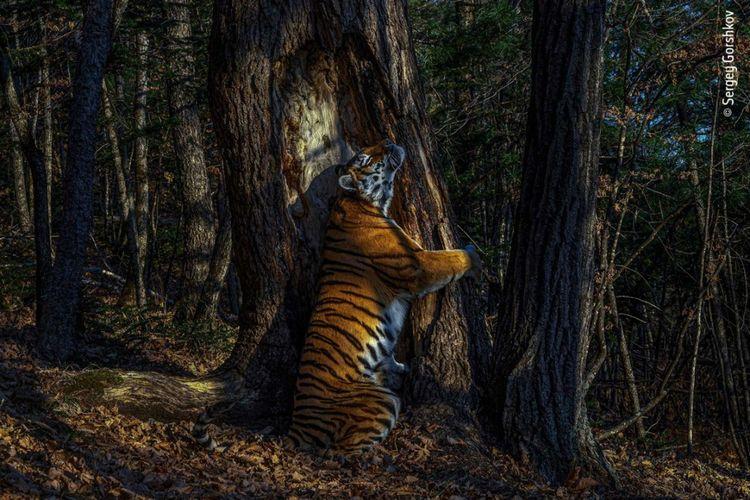 Le cliché obtenu après onze mois de traque, grâce à des appareils photo dissimulés dans la forêt.