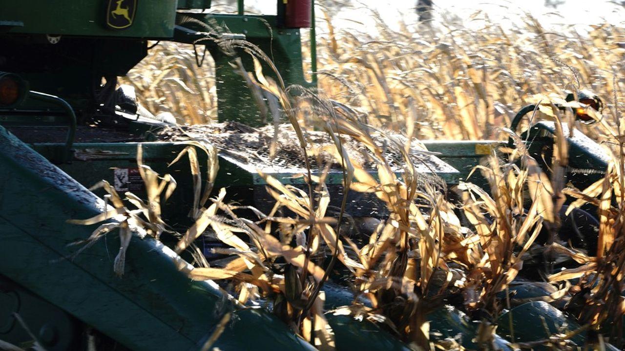 Les récoltes aux Etats-Unis se font à un rythme accéléré pour profiter des prix hauts et de la faible concurrence du Brésil.