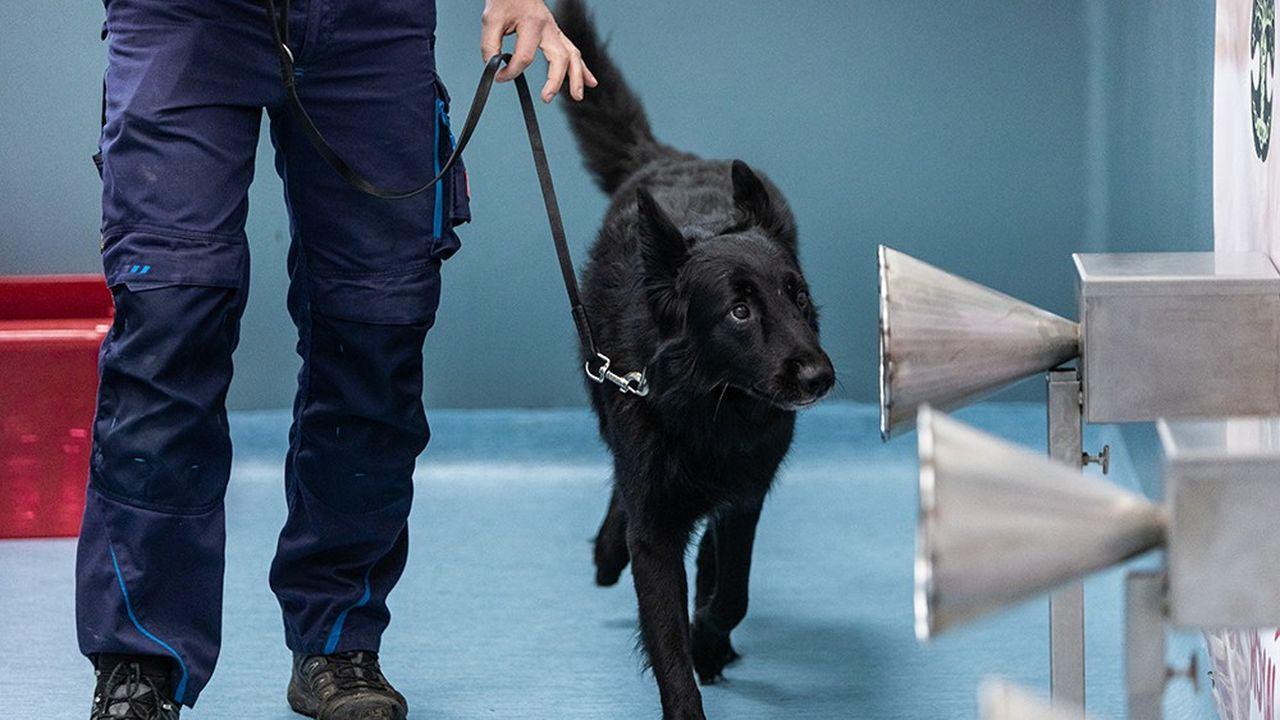 A l'Ecole vétérinaire de Maison Alfort, le professeur Dominique Grandjean a mis sur pied un protocole pour entraîner les chiens à détecter l'«odeur» du Covid.