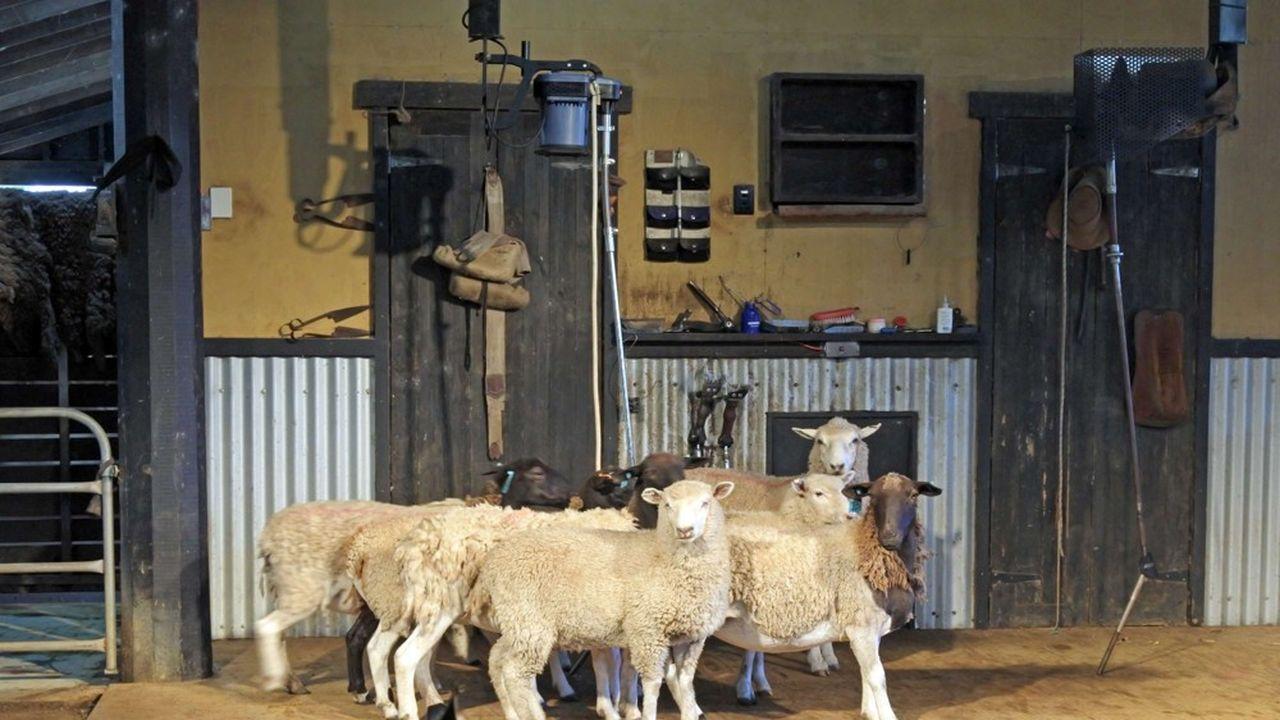 Des moutons australiens dans un atelier de tonte.