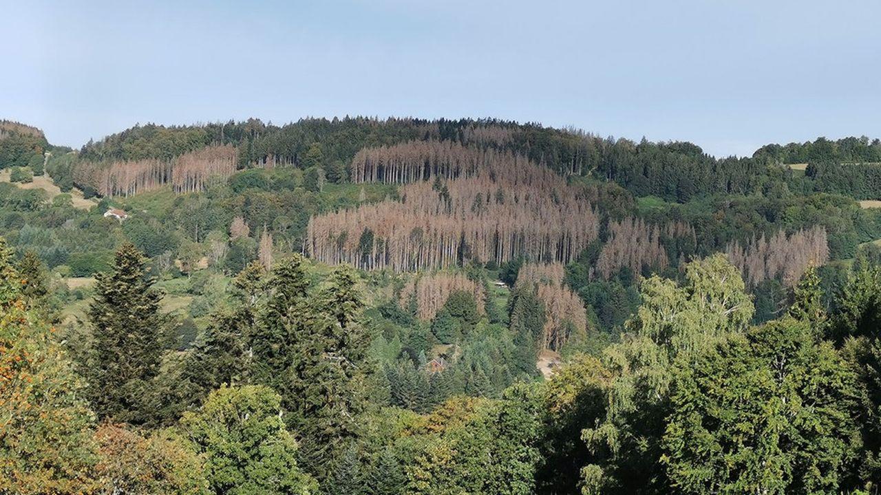 Des parcelles entières touchées par les scolytes sont visibles dans les Vosges.