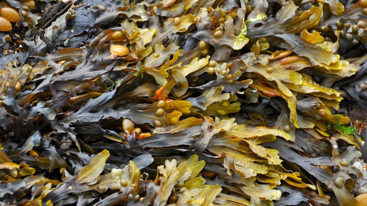 L'algue, une ressource naturelle convoitée.