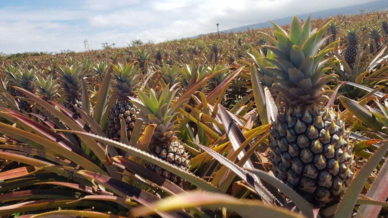 Ananas, Litchis, mangues… la Réunion produit environ 1.000 tonnes de fruits par an.