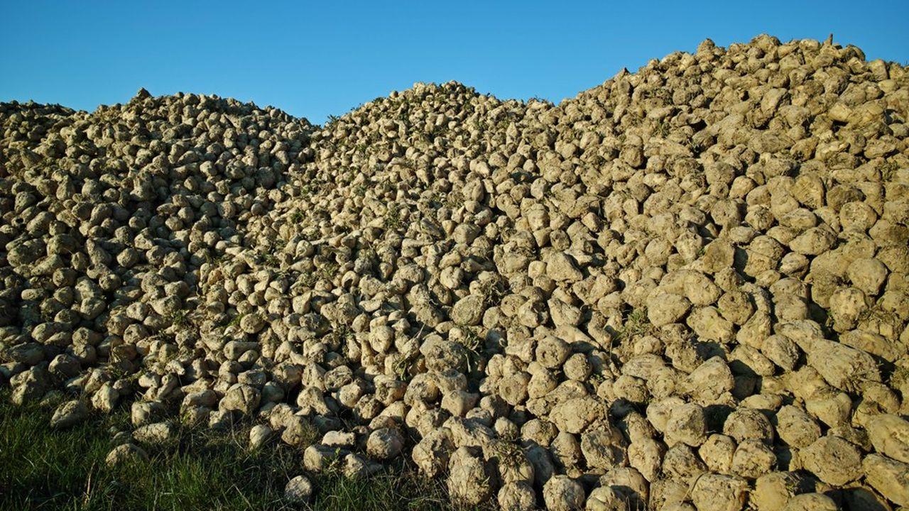 Les sucriers allemands s'insurgent contre les aides à la production de betteraves dont bénéficient les producteurs deonze pays européens, mais pas l'Allemagne.