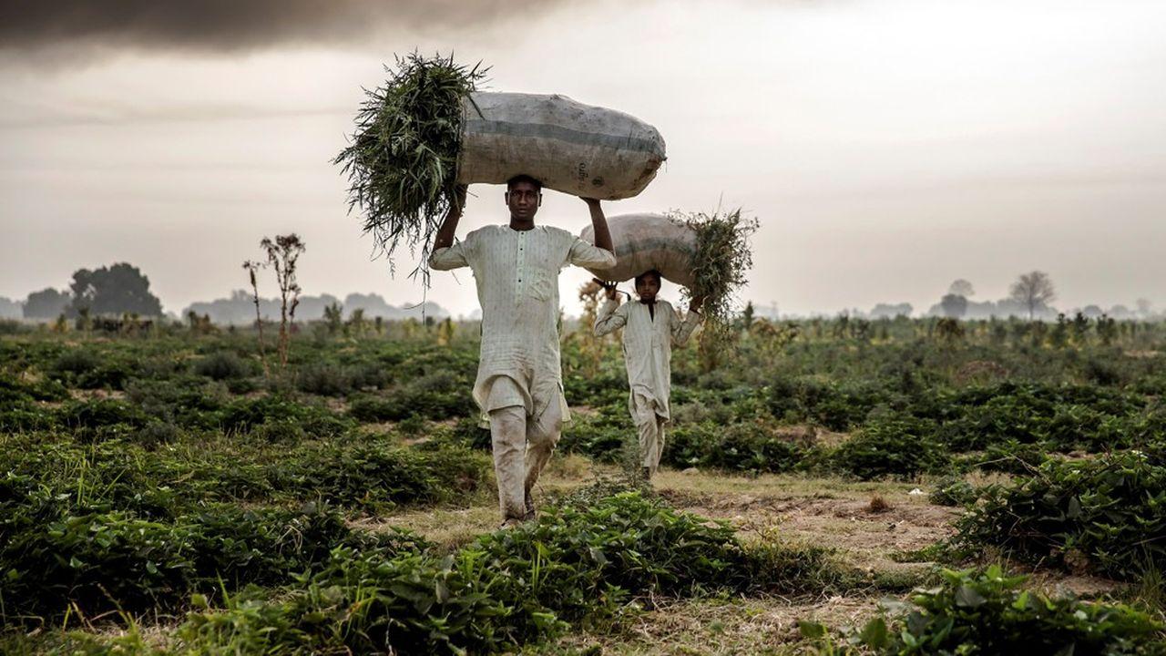 L'extension des grandes exploitations agricoles, comme ici au Nigeria, menace la survie des éleveurs nomades.