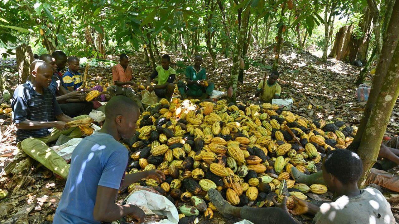 Des planteurs de cacao en Côte d'Ivoire.