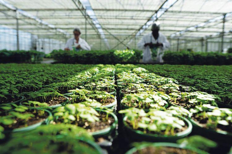 La serre de 13.000m² que l'entreprise loue à Saint-Martin-du-Fouilloux abrite une vingtaine d'espèces de plantes aromatiques en pots.