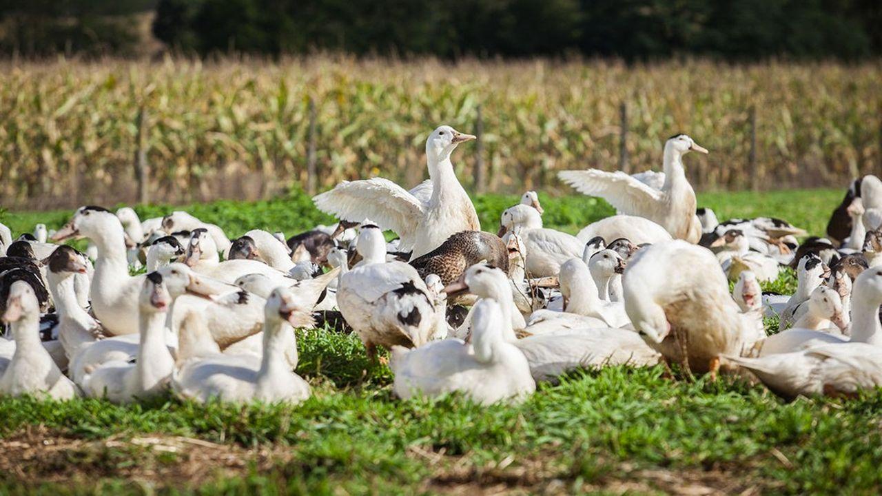 Le Sud-Ouest constitue un couloir de migration important et les canards gras sont traditionnellement élevés en plein air.