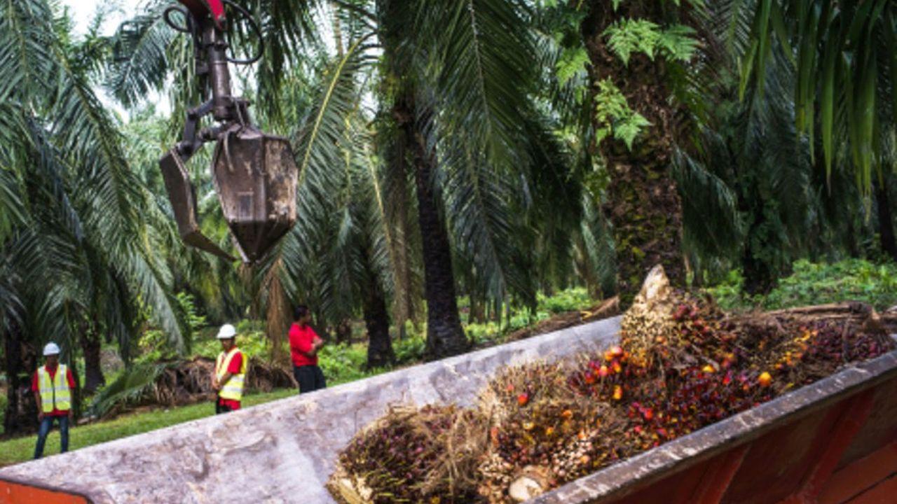 Sime Darby est le deuxième plus gros producteur d'huile de palme en Malaisie, ce pays étant lui-même le deuxième plus gros producteur au monde, derrière l'Indonésie.