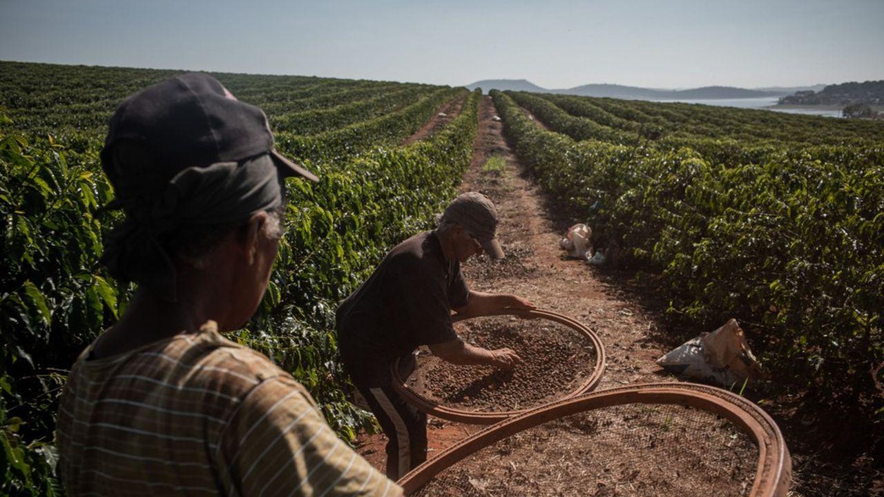 Récolte du café à Alfenas, dans l'Etat du Minas Gerais, qui produit 70% de l'arabica brésilien