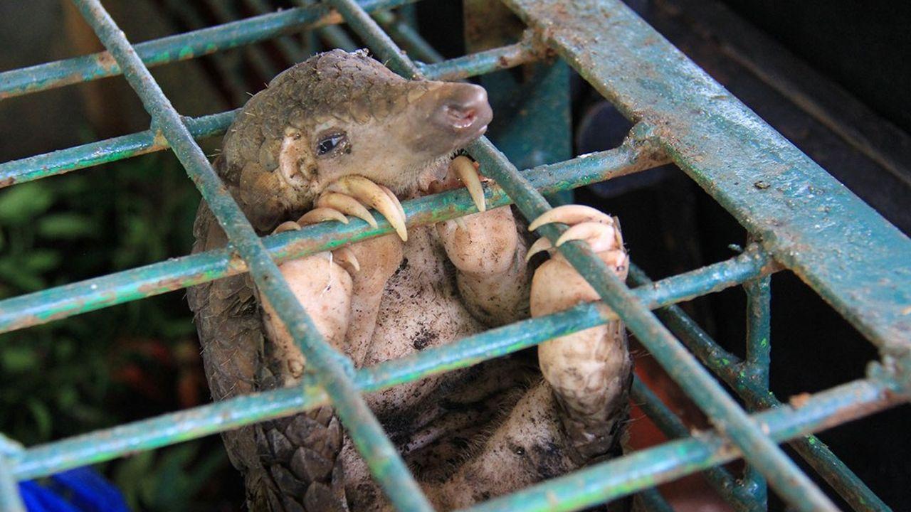 Mammifère parmi les plus braconnés au monde, le pangolin a-t-il joué le même rôle dans l'épidémie de Covid-19 que la civette masquée dans celle du Sras de 2002-2004? La question fait toujours débat.