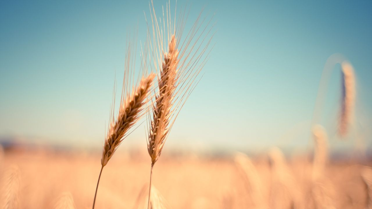 wheat-865152.jpg