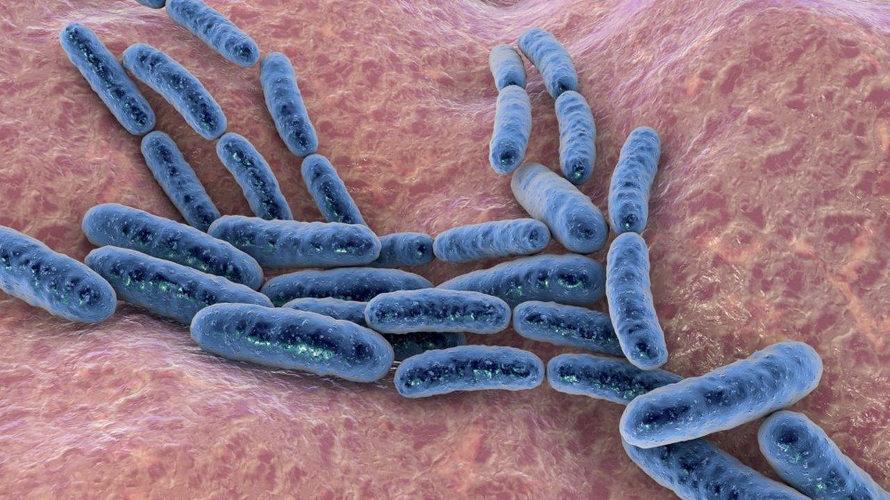 Bactéries probiotiques Lactobacillus.