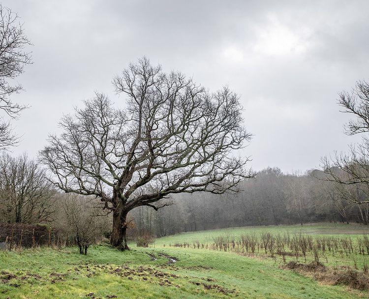 Le chêne tricentenaire au pied duquel, pendant toute une nuit, Fabrice Hybert a dessiné le croissant de Lune se déplaçant entre les branches du vieil arbre.