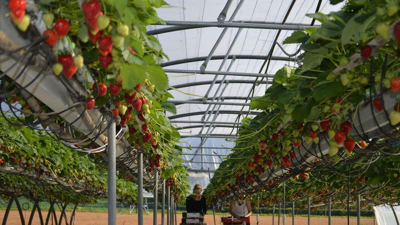 La production de fraises représente environ 3.000 emplois et le double si l'on considère l'ensemble de la filière.