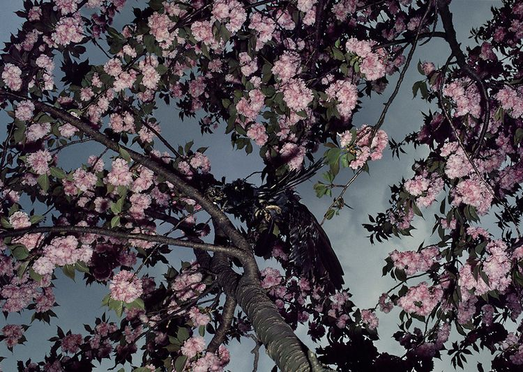 Shomei Tomatsu Cherry Blossoms, Shinkuku Gyoen, 1980