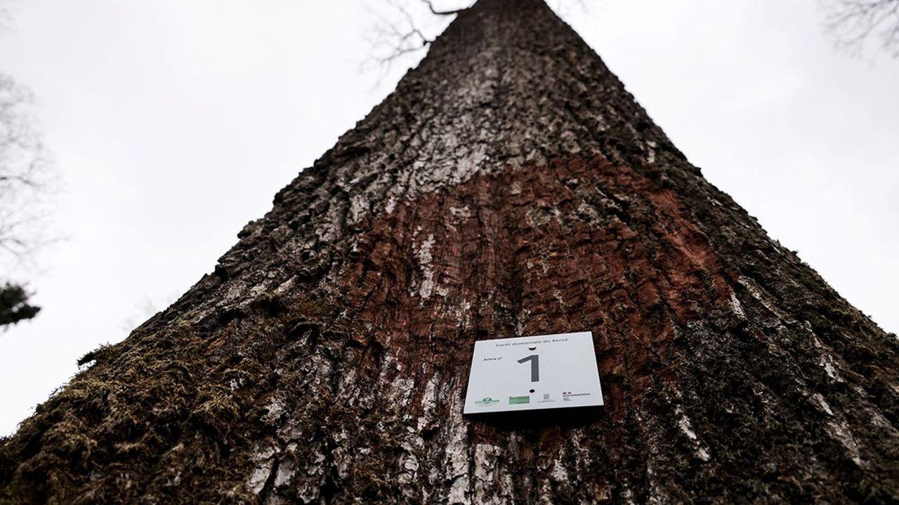 Lors d'une cérémonie vendredi, le premier des huit chênes de 230 ans nécessaires à Notre-Dame a été marqué dans la forêt domaniale de Bercé (Sarthe), plantée quand Colbert lança en 1669 un programme national pour fournir du bois à la construction navale.