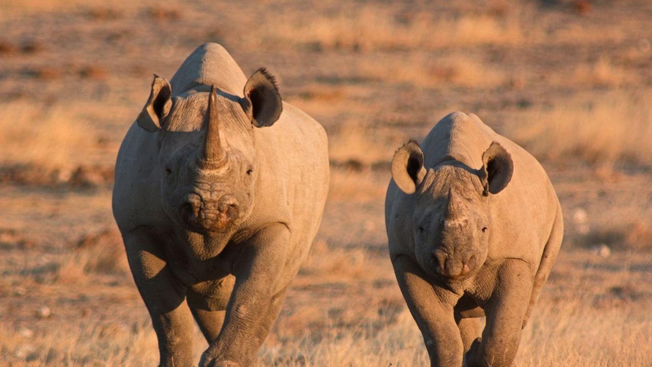 Les «rhino-bonds» sont des obligations à impact dédiées à la protection des rhinocéros.
