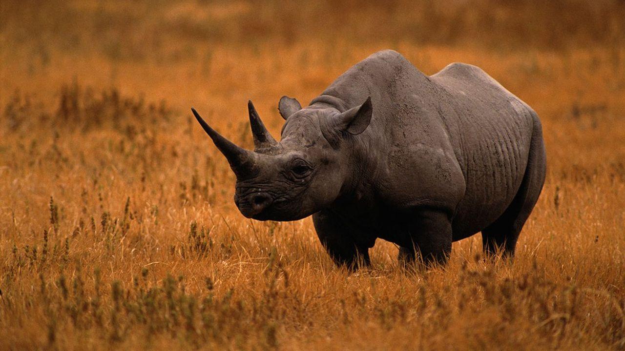 La banque mondiale entend favoriser le repeuplement des rhinocéros noirs en Afrique du Sud.