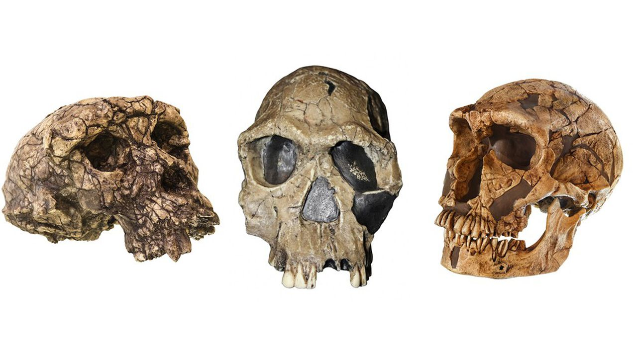 Les crânes successifs de Toumaï (à gauche), Homo habilis (au milieu) et Homo neanderthalensis (à droite). En 7millions d'années d'évolution des hominidés, la taille du cerveau par rapport à celle du corps (coefficient d'encéphalisation) a été multipliée par 4.