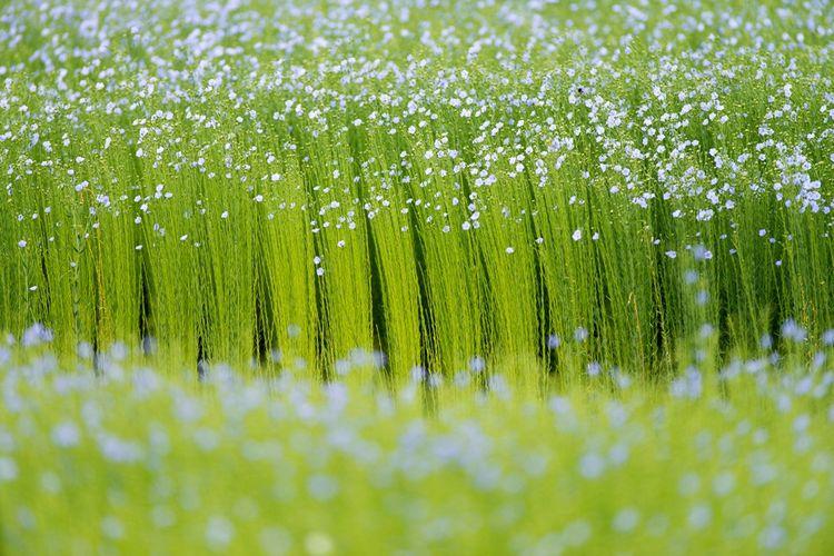 Champ d'essais de lin en fleurs de la coopérative Terre de Lin.