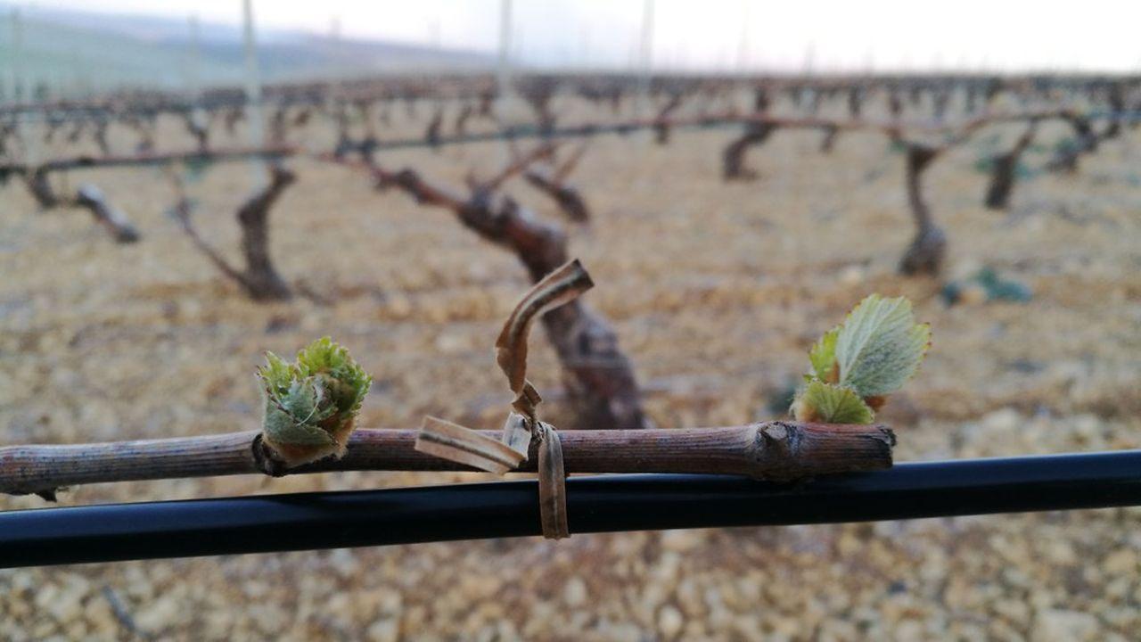 Discret, le câble emprunte le fil de palissage et court le long des ceps de vigne.