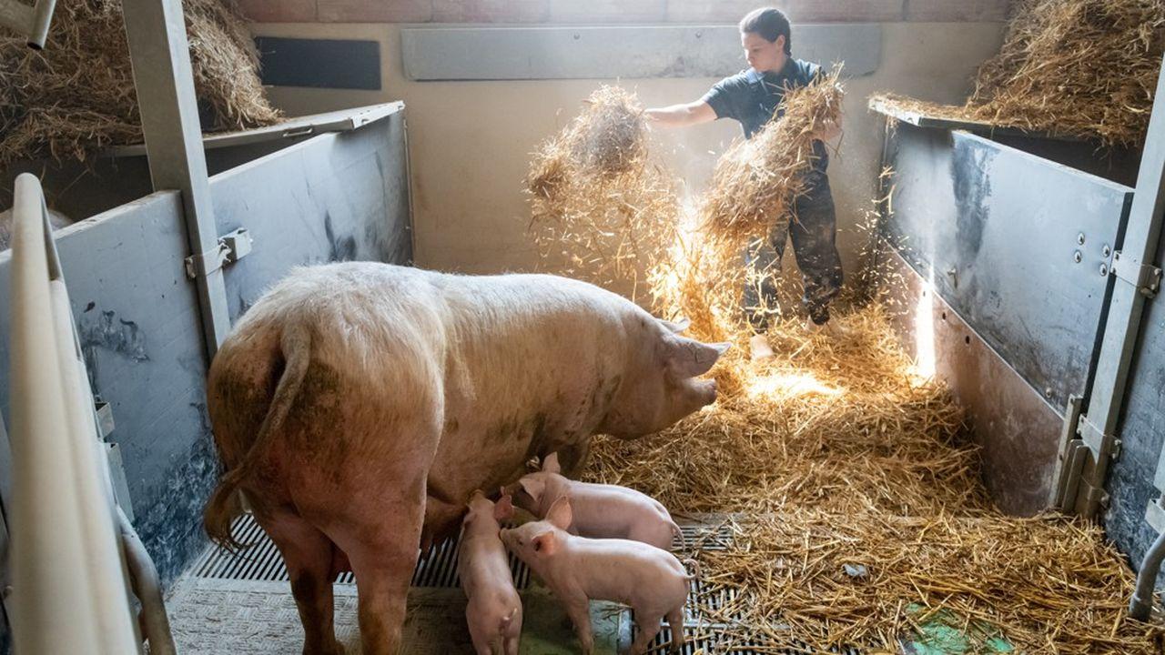 Le bio est synonyme de bien-être pour le porc. Les bêtes ont droit à trois fois plus d'espace, 2,40 mètres carrés en moyenne contre 0,72 mètre pour l'élevage dit conventionnel.