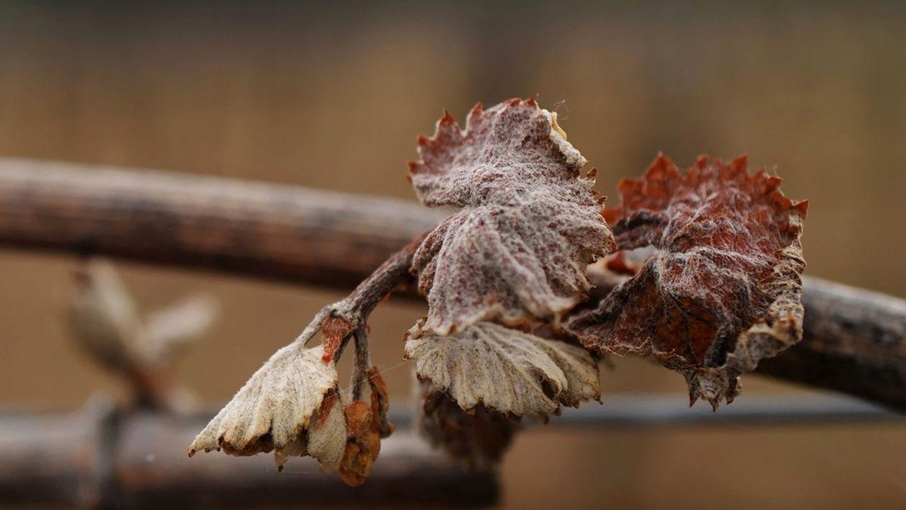 Les trois jours de gel subis par le vignoble français pourraient avoir détruit plus d'un tiers de la récolte de 2021, selon les premières estimations.