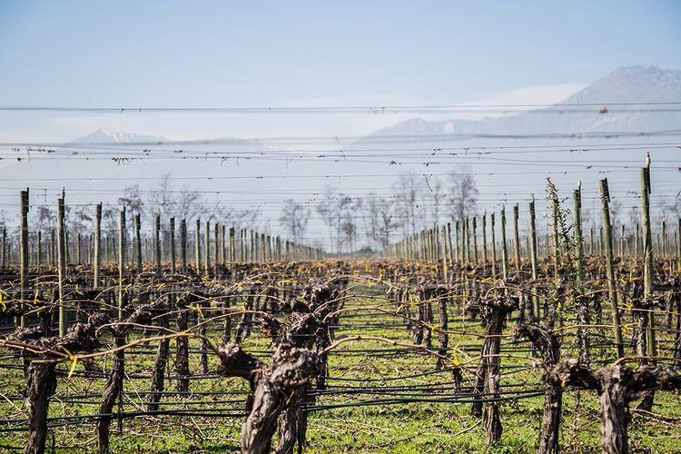 Au pied de la cordillère des Andes, le vignoble planté par Arturo Perez ne donnera du vin qu'après sa mort.