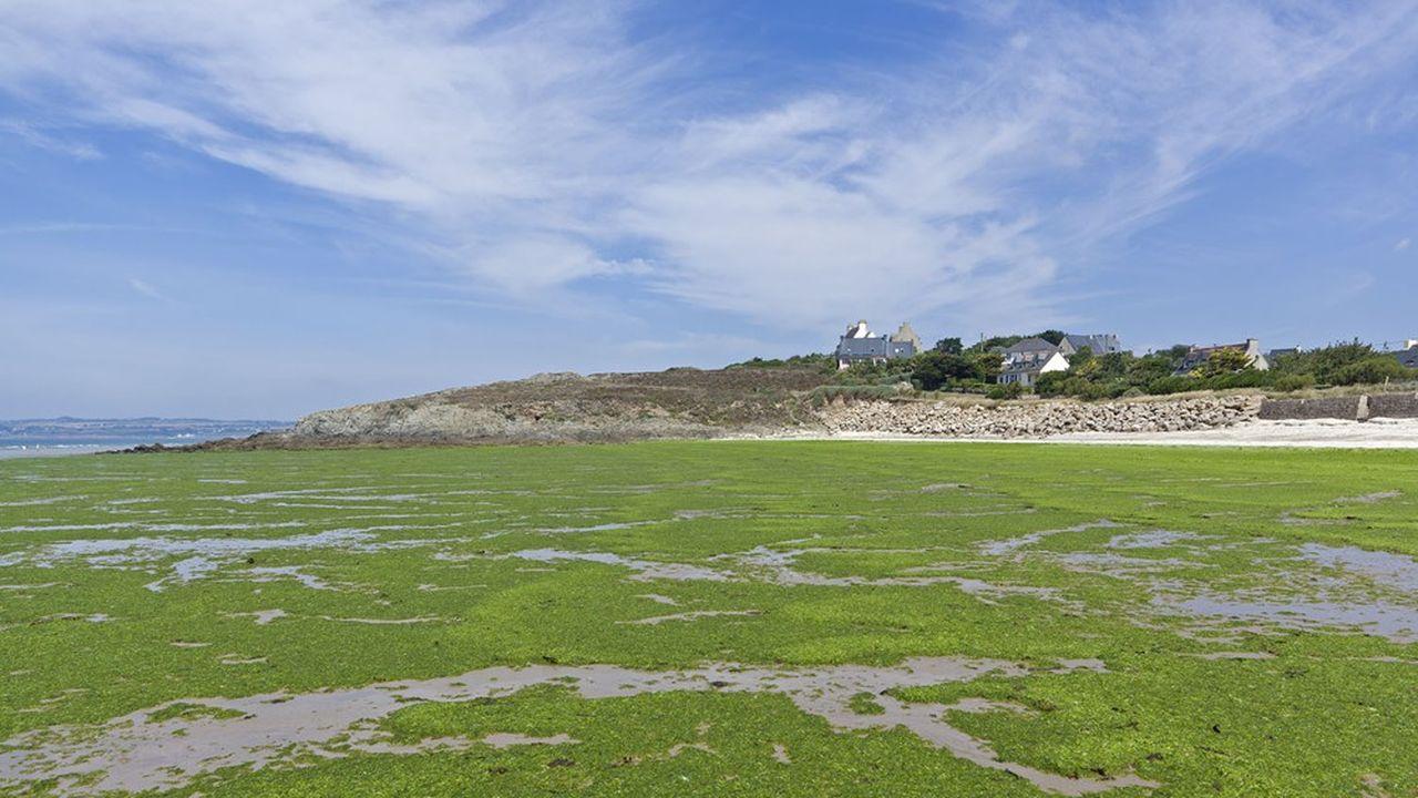 Les plages bretonnes restent touchées par les algues vertes.