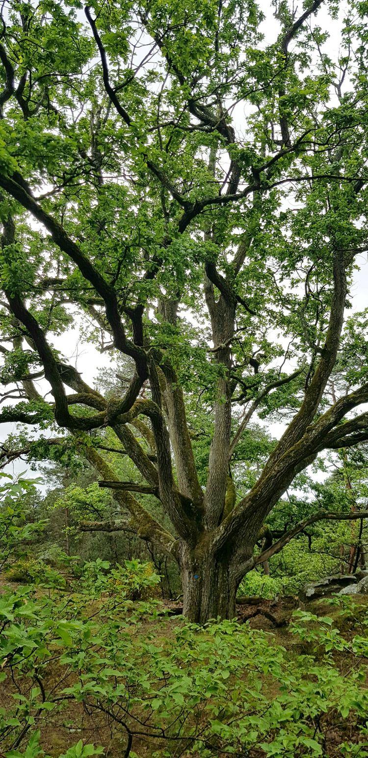Environ 700 arbres remarquables ont été marqués d'un rond bleu par l'Association des amis de la forêt de Fontainebleau, en accord avec l'ONF. Ce qui les préserve des coupes.