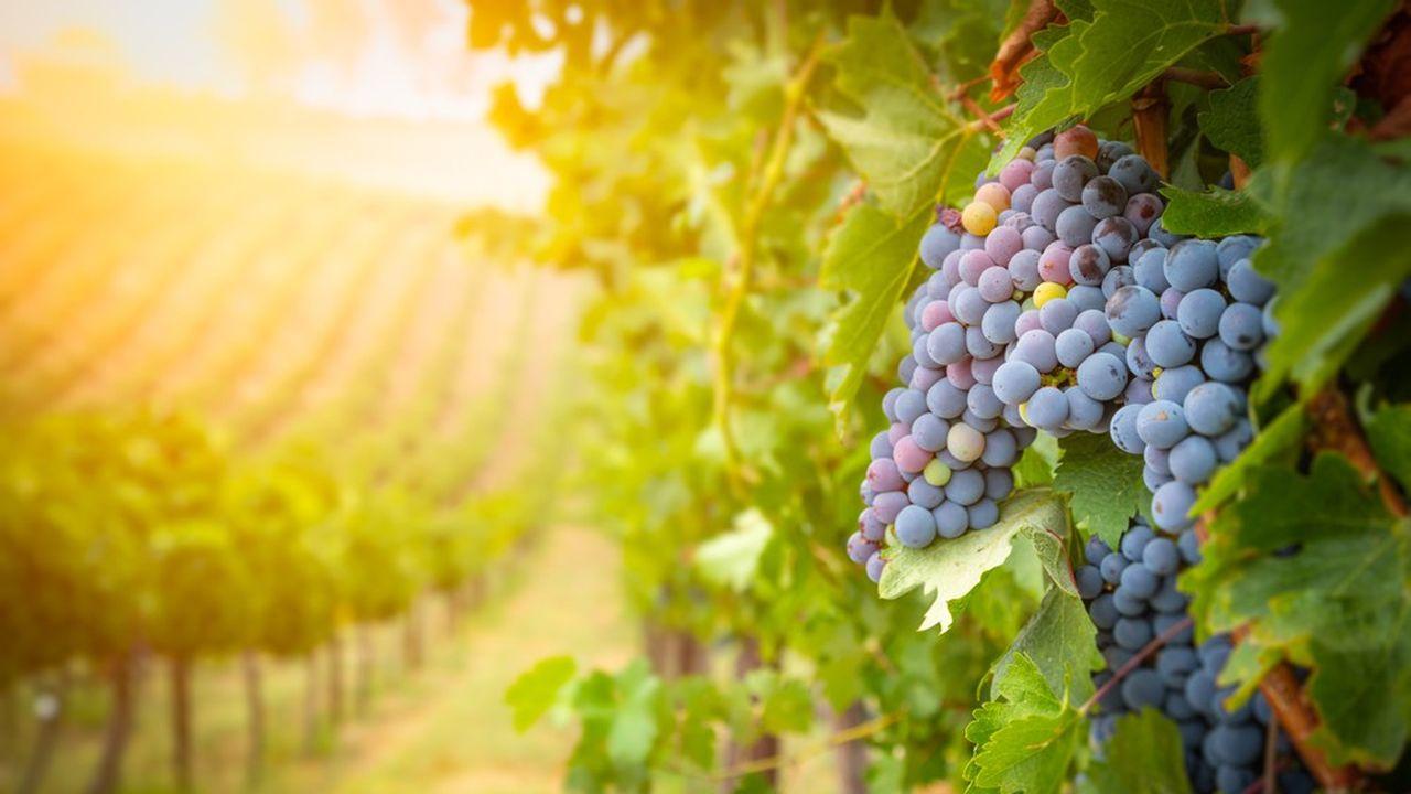 Lush Wine Grapes Clusters Hanging On The VineInstallée sur le campus du Vinipole Sud Bourgogne, Vitilab doit permettre aux acteurs du secteur viticole de se mettre au contact des innovations numériques et robotiques.