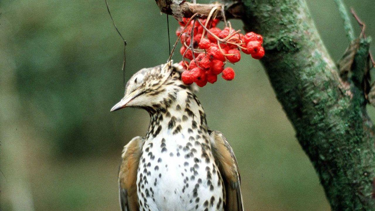 Le Conseil d'Etat vient d'annuler l'autorisation de pratiquer certaines chasses traditionnelles dont la tenderie aux grives, pratiquée dans les Ardennes.
