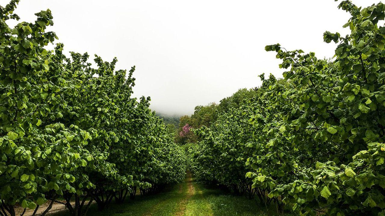 Des champs de noisetiers à Cortemilia, dans la région italienne du Piémont.