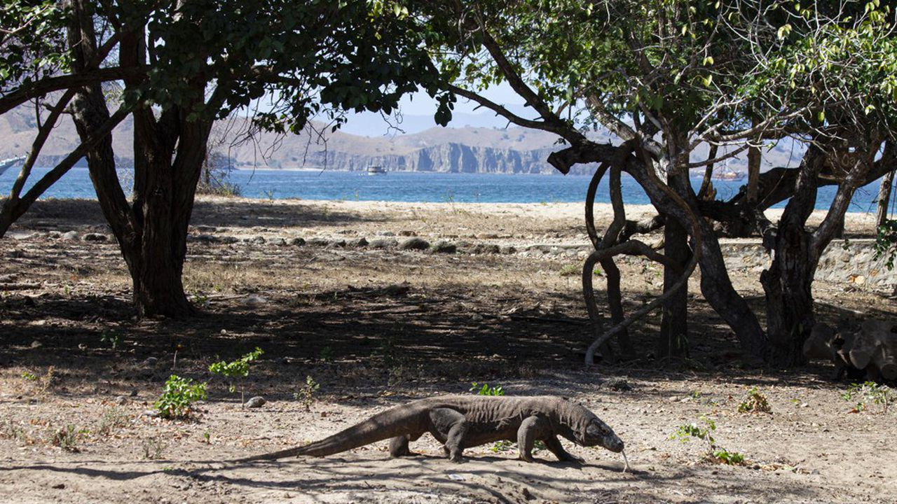 Le dragon de Komodo, le plus grand lézard au monde qu'on trouve en Indonésie centrale, est désormais classé «en danger» par l'UICN.