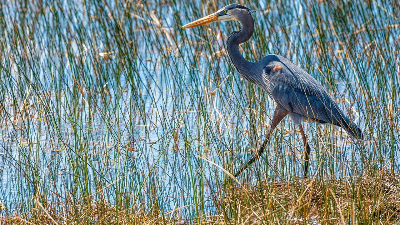 Héron dans une réserve naturelle de Floride, Etats-Unis.
