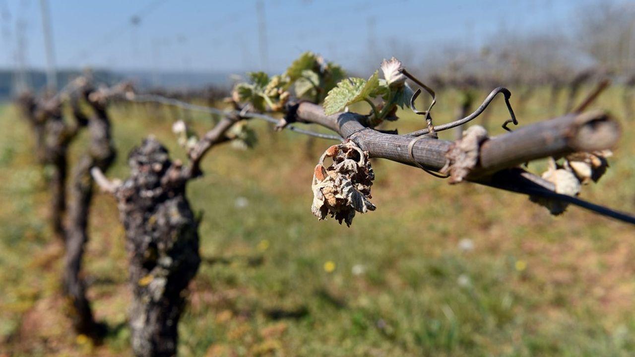 Les vignes ont été ravagées par le gel au printemps dernier.