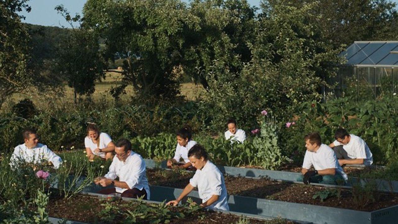 Au pic de la saison, en mai-juin, les cuisiniers du Suquet récoltent tous les matins jusqu'à vingt cachettes pour aromatiser les plats des 130 clients jour du restaurant Le Suquet.