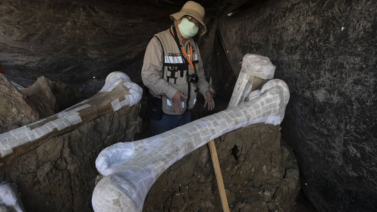 Colossal veut éditer le génome d'un éléphant d'Asie pour y insérer de l'ADN de mammouth laineux.